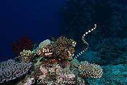 banded sea krait or banded sea snake, Laticauda colubrina, swimming over coral reef, Beqa Lagoon, Viti Levu, Fiji ( South Pacific Ocean )