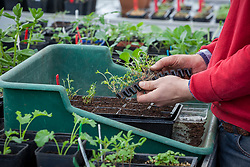Potting up mail order plug plants into module trays in the greenhouse