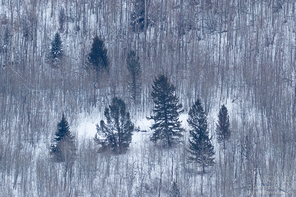 A handful of evergreen trees stand out against a backdrop of bare winter trees on a hillside overlooking Gos Ventre in Grand Teton National Park, Wyoming.