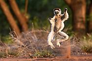 Larvensifaka (Propithecus verreauxi), Berenty, Madagaskar<br /> <br /> Running Verreaux's sifaka (Propithecus verreauxi), Berenty, Madagascar