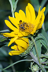 Goldenrod Soldier Beetle (Chauliognathus pensylvanicus) climbs across a bright yellow prairie flower