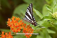 03006-00313 Zebra Swallowtail (Eurytides marcellus) on Butterfly Milkweed (Asclepias tuberosa) Reynolds Co. MO