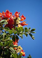 The African tulip tree is a common sight on Puerto Rico.