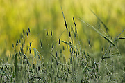 wild oats (Avena) Photographed in Israel in Spring
