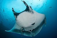 Giant Manta Ray<br /> <br /> Shot in Mexico