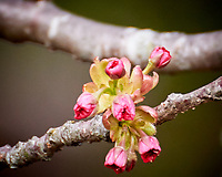 Plum Tree Flower Buds. Image taken with a Nikon 1 V3 camera and 70-300 mm VR lens.