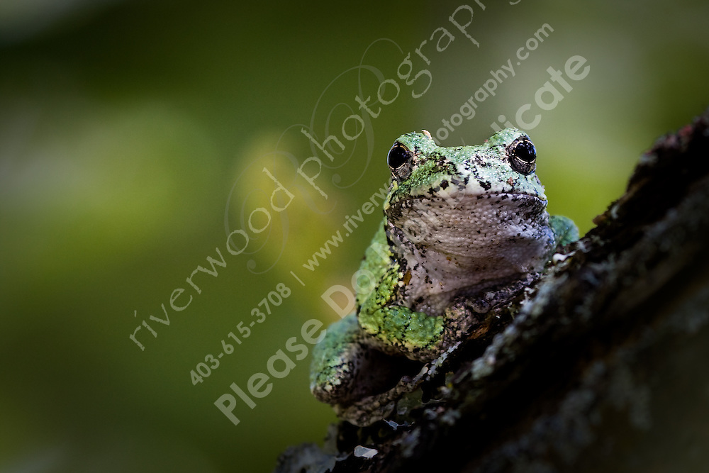 This little guy had an interesting defence mechanism...  He kept on jumping straight at me!  At one point he landed on my leg, and another time he sat on my lens for a couple of minutes.  He eventually jumped right over my head and I couldn't find him again!..©2008, Sean Phillips.http://www.Sean-Phillips.com
