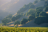 Sunset light on vineyards and oak trees on hills, between Hopland and Ukiah, Mendocino County, California