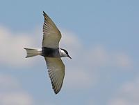 Whiskered tern (Chlidonias hybridus) Pusztaszer Nature Reserve, Hungary