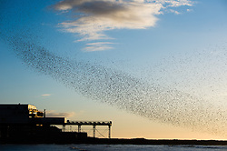 © Licensed to London News Pictures. 03/03/2014. Aberystwyth, UK At sunset, a murmuration of tens of thousands of starlings fly in to  roost for the night on the cast iron legs of the Victorian seaside pier at Aberystwyth on the west coast of Wales UK. . Photo credit : Keith Morris/LNP