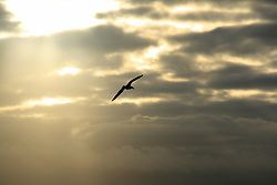 July 21, 2019 - Bird Flying Into The Sunset (Credit Image: © Peter Zoeller/Design Pics via ZUMA Wire)