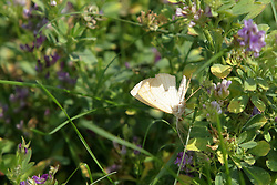 Believed to be a cabbage butterfly<br /> Finfrock State Natural Habitat Area (Illinois)