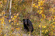 Black bear in autumn foilage in Kananaskis Country, Alberta, Canada