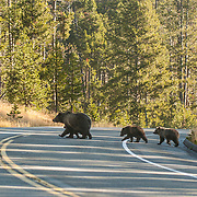 Grizzly Bear (Ursus horribilis) mother with cubs crossing the road in Yellowstone National Park.
