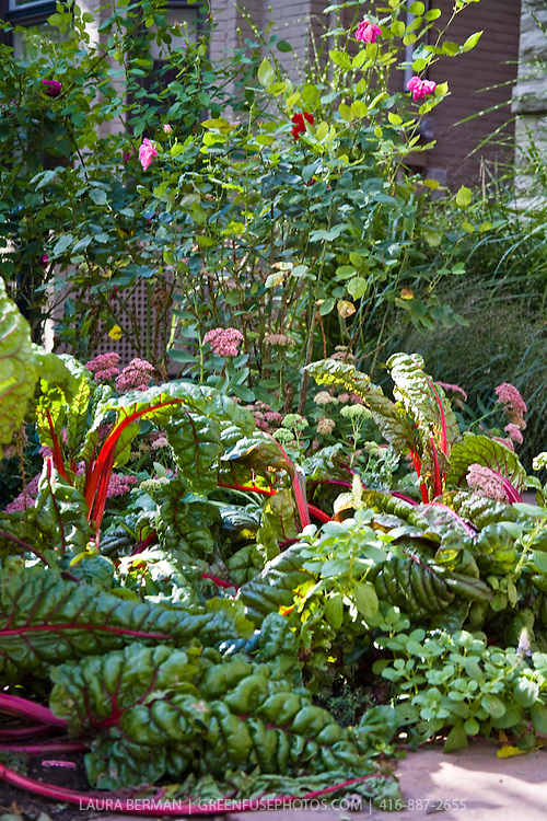 Red-stemmed Ruby chard, Autumn Joy sedum and roses growing in an edible landscape  front yard garden  in downtown Toronto