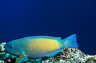 Regal Parrotfish, Scarus dubius,  Bennett, 1828