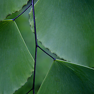 I think what surprised me while I was composing this shot is that although the leaves have an arresting pattern, the stem became the subject.