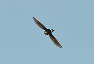 Little Swift - Apus affinis