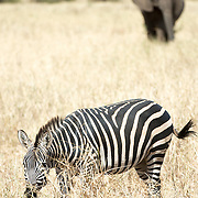 In the foreground, a zebra grazes on the grass with an elephant in the background at Tarangire National Park in northern Tanzania not far from Ngorongoro Crater and the Serengeti.