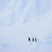 Emperor Penguin (Aptenodytes forsteri) adults at Riiser-Larsen Ice Shelf. Antarctica