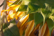 Graphic Rendering of Sunflower