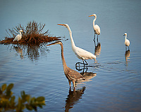 Tricolored Heron, Snowy Egret, and Great Egret. Black Point Wildlife Drive, Merritt Island National Wildlife Refuge. Image taken with a Nikon D3s camera and 80-400 mm VR lens (ISO 200, 150 mm, f/5, 1/640 sec).
