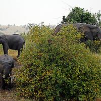Africa, Kenya, Masai Mara. Elephants feeding on river bank in Mara.