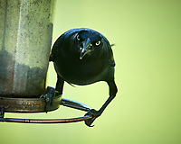 Common Grackle. Image taken with a Nikon D5 camera and 600 mm f/4 VR lens