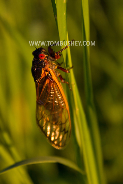Salisbury Mills, New York  - A 17-year cicada from Brood II on a plant at Schunnemunk Mountain State Park on June 8, 2013. ©Tom Bushey / The Image Works
