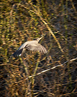 Great Blue Heron. Image taken with a Nikon D2xs camera and 80-400 mm VR telephoto zoom lens.