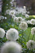 Allium stipitatum 'Mount Everest' and A. 'Mont Blanc'