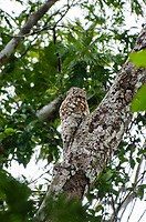 Great Potoo, Nyctibius grandis, perched in a tree beside the Tortuguero River (Rio Tortuguero) in Tortuguero National Park, Costa Rica