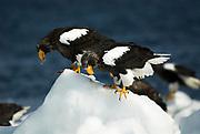 Steller's Sea Eagle, Haliaeetus pelagicus, pair feeding on fish on sea pack ice, Okhotsk Sea, Rausu, Hokkaido, Japan, japanese, Asian, wilderness, wild, untamed, photography, ornithology, snow, bird of prey, Vulnerable