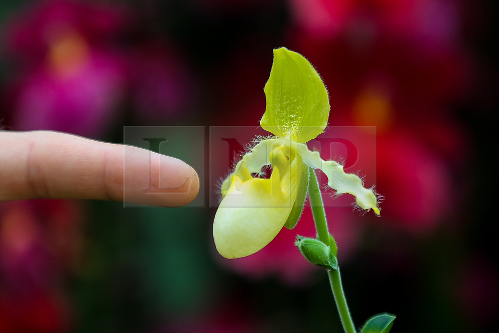 © Licensed to London News Pictures. 06/02/2020. London, UK. A horticulturist point at a rare Orchid 'Paphiopedilum primulinum' during press preview of the 25th Kew Orchid Festival at Kew Royal Botanical Gardens. This year's theme is around the wonders of Indonesia and the festival runs from 8 February to 8 March 2020. Photo credit: Dinendra Haria/LNP