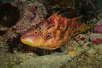 Unkown wrasse,  family, Labridae, Pak Lap Tsai, Sai Kung East Country Park, Hong Kong, China.<br /> This Image is a part of the mission Wild Sea Hong Kong (Wild Wonders of China).