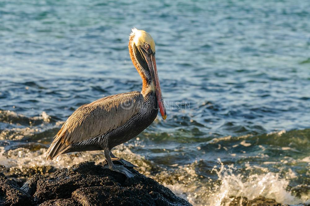 Brown Pelican (Pelicanus occidentalis) from Santa Cruz, Galapagos, Ecuador.