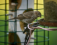 House Finch. Image taken with a Nikon D5 camera and 600 mm f/4 VR lens (ISO 1600, 600 mm, f/5.6, 1/800 sec).