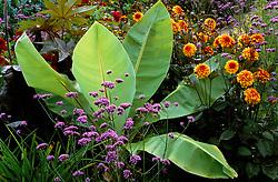 The exotic garden at Great Dixter. Ensete ventricosum - syn. Musa ensete, Musa arnoldiana with Verbena bonariensis and Dahlia 'David Howard'