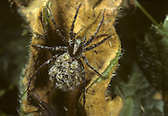 Pardosa lugubris - a species of Wolf Spider