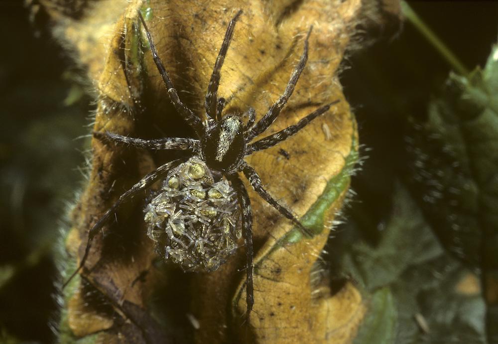Pardosa lugubris - a species of Wolf Spider