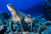 green sea turtle, Chelonia mydas, with turtle barnacles, Chelonibia testudinaria, Kona, Big Island, Hawaii ( Pacific )