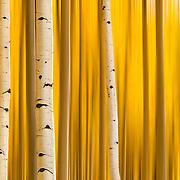 Autumn color displayed in a golden abstract of Aspen trees near Aspen, Colorado.