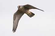 Juvenile peregrine (Falco peregrinus) in flight. Sussex, UK.
