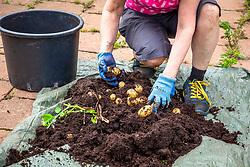 Harvesting container grown potatoes. Solanum tuberosum 'Lady Christl'.