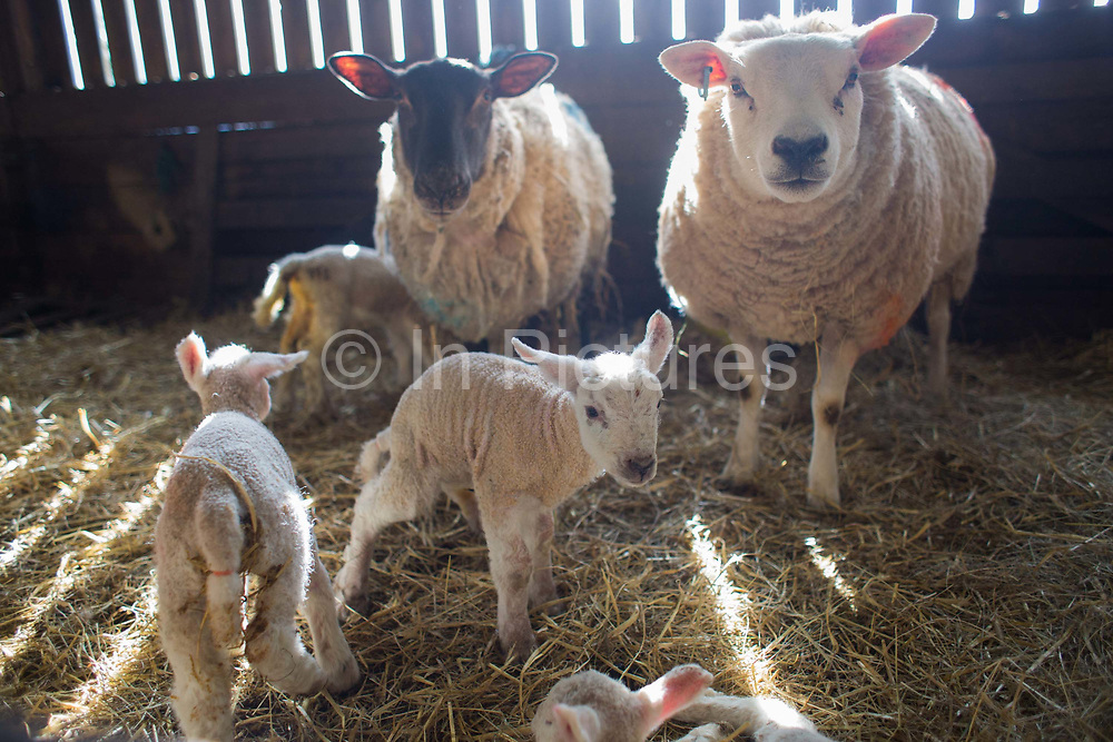 Spring is the lambing season in Scotland and Torsonce Mains Farm is busy lambing. Ewes and newly born lambs in the barn before being put out onto the field. The farm is owned by Stewart Ranciman and has 600 ewes all lambing from end of March till the end of April. Most will give birth to 2 lambs, occasionally 3 or even 4. The price of a 40 kg lamb is £60-70 and most are ready for sale 6-8 weeks later. Over 12 million lambs are slaughtered in the UK every year, producing more than 230,000 tonnes <br /> of meat.