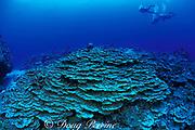 lettuce coral, Porites lichen, <br /> Vava'u, Tonga, South Pacific
