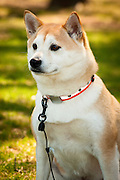 An adult Akita looks intently off-camera.