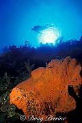 diver and orange elephant ear sponge,<br /> Agelas clathrodes, West Wall, Provo or<br /> Providenciales, Turks & Caicos Islands,<br /> ( Western Atlantic Ocean )