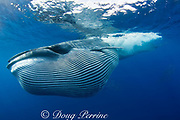 Bryde's whale, Balaenoptera brydei or Balaenoptera edeni, with throat pleats expanded after feeding on baitball of sardines, Sardinops sagax, off Baja California, Mexico ( Eastern Pacific Ocean )