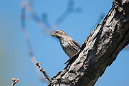 Female Purple Finch feeding while perched on tree branch in NY in April